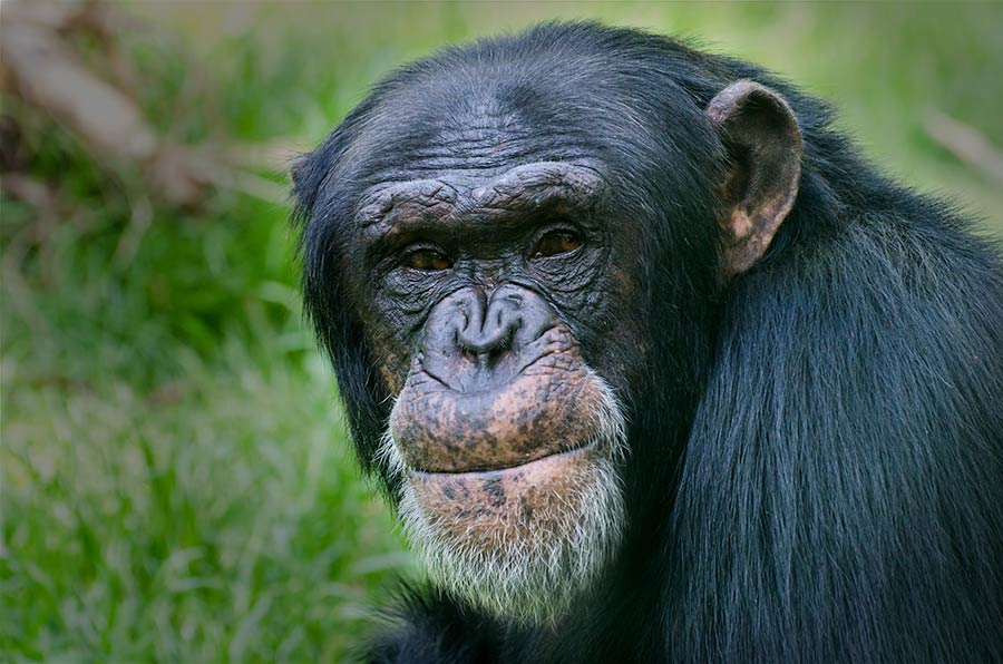 Chimpanzee, North Carolina Zoo, Asheboro